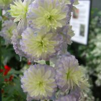 Delphinium Highlander Moon Light