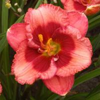 Hemerocallis Baby Red Eyes