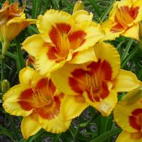 Hemerocallis Blackberry Sherbert