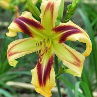Hemerocallis Free Wheelin'