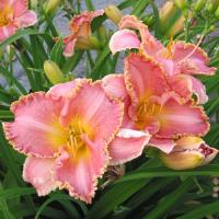 Hemerocallis Heavenly Pink Fang