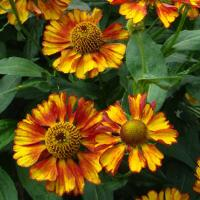 Helenium Can Can