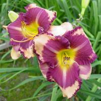 Hemerocallis Kansas City Kicker