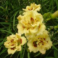 Hemerocallis Little Miss Manners