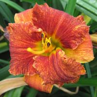 Hemerocallis Spacecoast Freaky Tiki