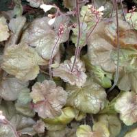 Heuchera Brown Sugar