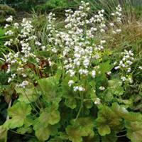 Heuchera Pretty Perrine