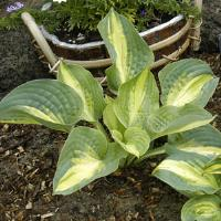 Hosta Chain Lightning
