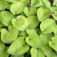 Hosta Glad Tidings
