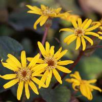 Ligularia Midnight Lady