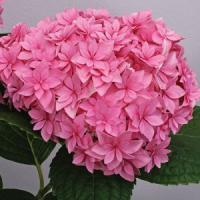 Hydrangea macrophylla Perfection