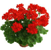 Frenza Fire Interspecific Geranium