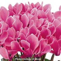 Premium Rose Flame Cyclamen