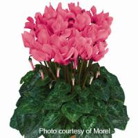 Premium Salmon Eye Cyclamen
