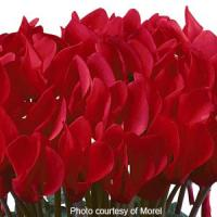Premium Bright Red Cyclamen