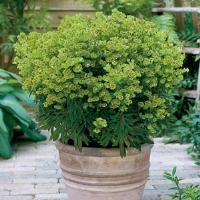 Euphorbia Mini Martini