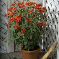 Profusion Knee High Red Zinnia
