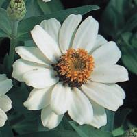 Profusion Knee High White Zinnia