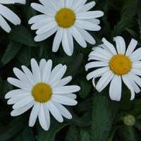 Leucanthemum White Knight
