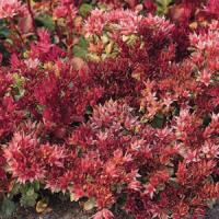 Sedum spurium Red Carpet
