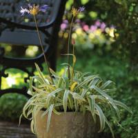 Agapanthus Gold Strike