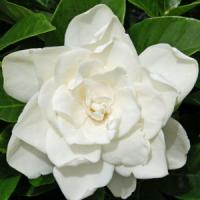 Gardenia Coconut Magic