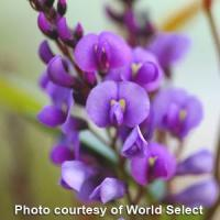 Hardenbergia Walkabout Purple