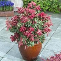 Pieris Passion Frost
