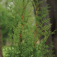 Thuja Sugar And Spice
