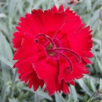 Dianthus Red Beauty