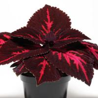 Emotions Passionate Coleus