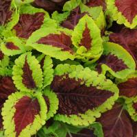 Emotions Inspired Coleus