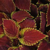 Emotions Sophisticated Coleus