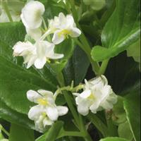 Queen White Begonia