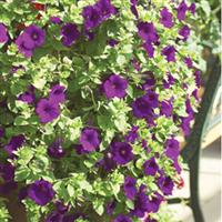 Explorer Purple Petunia