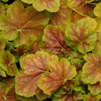 Heuchera villosa Miracle