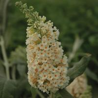 Buddleia Flutterby Grande<sup>®</sup> Vanilla