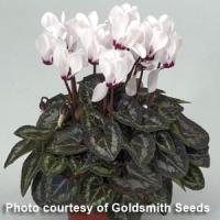 Miracle White Eye Cyclamen