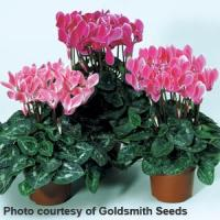 Miracle Flame Mix Cyclamen