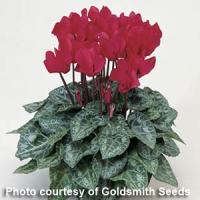 Miracle Deep Salmon Cyclamen