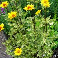 Heliopsis Summer Green