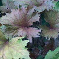Ligularia Osiris Cafe Noir