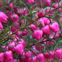Boronia Mother's Day