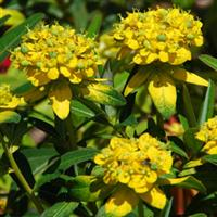 Euphorbia Solid Gold