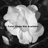 Camellia Boulevard Double Pink