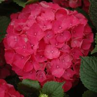 Hydrangea macrophylla Red Sensation