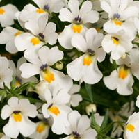 Spicy Snow White Nemesia