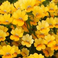 Spicy Yellow Nemesia