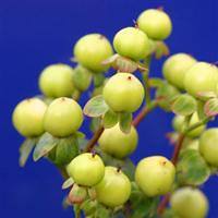 Hypericum HyperBerries Gold