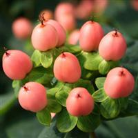 Hypericum HyperBerries Salmon